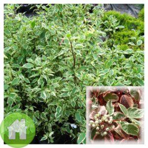 Sibirica variegata0